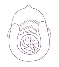 Рост волос на голове